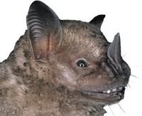 Flat-faced bat from peru